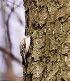 Eurasian Treecreeper Fotografie Stock Libere da Diritti