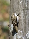 Eurasian Treecreeper (Certhia familiaris) Royalty Free Stock Photography