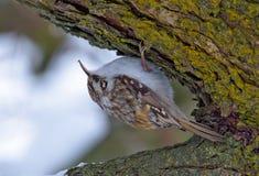 Eurasian treecreeper crawls on a tree bark upside down royalty free stock photo