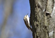 Eurasian Treecreeper (familiaris Certhia) Стоковая Фотография