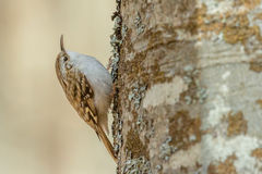 Eurasian Treecreeper - familiaris di Certhia Fotografie Stock Libere da Diritti