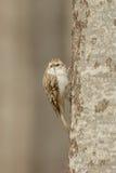 Eurasian Treecreeper - familiaris di Certhia fotografie stock