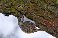 Eurasian treecreeper exams a tree bark in search of food stock photography