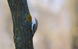 Eurasian treecreeper crawls on a tree stem stock photo