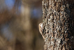 Eurasian treecreeper searching for food Royalty Free Stock Photos