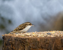 Eurasian Treecreeper on seed table Royalty Free Stock Images
