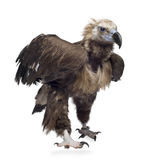 Eurasian Vulture (42 years) -  Aegypius monachus Stock Photography