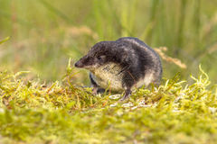 Eurasian Water shrew in natural environment. Eurasian water shrew (Neomys fodiens) walking and lookng in natural environment Royalty Free Stock Photo