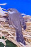 Eurasian whitethroat Royalty Free Stock Images