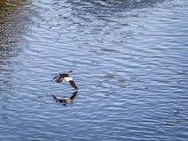 Eurasian Widgeon Flying over Water.  Royalty Free Stock Photos
