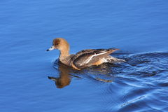 Eurasian Wigeon. Female, a common duck in Danube Delta Royalty Free Stock Photo