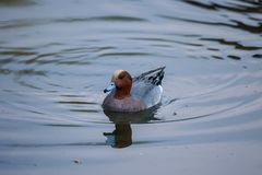The Eurasian wigeon up close stock images