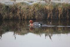 Eurasian Wigeon. The Eurasian wigeon, also known as widgeon or Eurasian widgeon is one of three species of wigeon in the dabbling duck genus Anas. It is common Stock Image