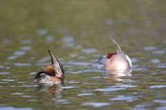 Eurasian Wigeon Stock Images