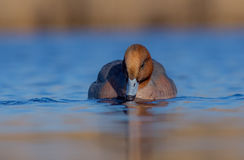 Eurasian Wigeon ( Anas penelope ) Royalty Free Stock Photo
