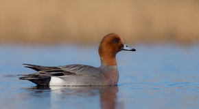 Eurasian Wigeon ( Anas penelope ). Male, at rest time during spring migration at the wetland. Portrait Royalty Free Stock Images