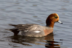 Eurasian Wigeon. Anas penelope male, swimming in a small lake in Southern Sweden Royalty Free Stock Photography