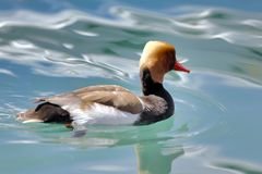 Eurasian Wigeon, Anas penelope, or Mareca penelope swims in the lake royalty free stock image