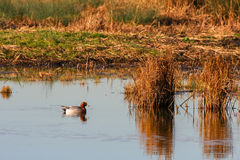 Eurasian Wigeon (anas penelope). On a pond in Essex Royalty Free Stock Photography