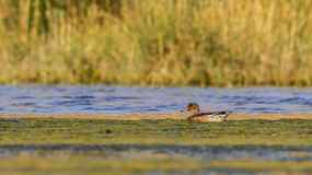 Eurasian wigeon. (Anas penelope) is swimming on the pond Royalty Free Stock Image