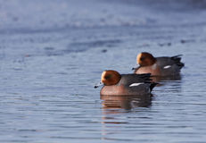 An Eurasian Wigeon Close-up Stock Images