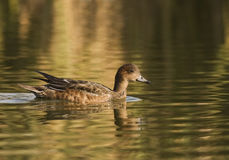 An Eurasian Wigeon Close-up Royalty Free Stock Image