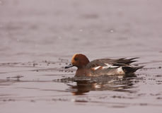 An Eurasian Wigeon Close-up Stock Image