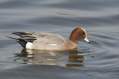 Eurasian Wigeon drake Royalty Free Stock Photo