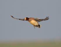 Eurasian Wigeon Stock Photography