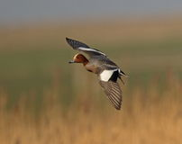 Eurasian Wigeon Royalty Free Stock Photography