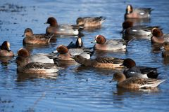 Eurasian Wigeon, Wigeon, Duck, Anas Penelope. Ducks - Water birds - Eurasian Wigeon, Wigeon, Duck, Anas Penelope Royalty Free Stock Photography