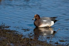 Eurasian Wigeon, Wigeon, Duck, Anas Penelope. Ducks - Water birds - Eurasian Wigeon, Wigeon, Duck, Anas Penelope Royalty Free Stock Image