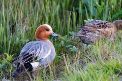Eurasian wigeon duck in Icelandic nature royalty free stock photo