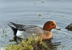 Eurasian Wigeon. Anas penelope Royalty Free Stock Photography