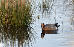 Eurasian Wigeon. Anas penelope Royalty Free Stock Photo