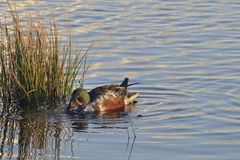 Eurasian Wigeon Royalty Free Stock Images