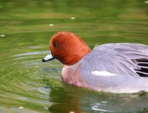 Eurasian Wigeon Male Duck swimming Ducks. In water Stock Image
