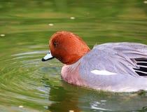 Eurasian Wigeon Male Duck swimming Ducks Stock Image