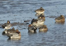 Eurasian Wigeon roost Royalty Free Stock Photography