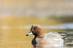 Eurasian Wigeon Royalty Free Stock Photos