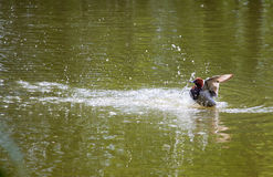 Eurasian wigeon on water Royalty Free Stock Photography