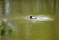 Eurasian wigeon on water. Eurasian wigeon, also known as widgeon cleaning cleaning itself in the lake Royalty Free Stock Photography