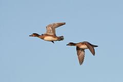 Eurasian wigeon (Anas penelope) Stock Images