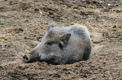 Eurasian Wild Boar. Large Eurasian wild boar resting in the dirt Stock Photo