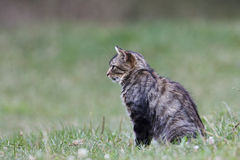 Eurasian wild cat in a field, Vosges, France Stock Image