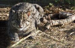 Eurasian Wildcat royalty free stock image