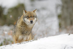 Eurasian wolf. Adult Eurasian wolf (Canis lupus lupus) standing in snow, looking at camera, Germany royalty free stock image