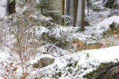 Eurasian wolf Royalty Free Stock Image