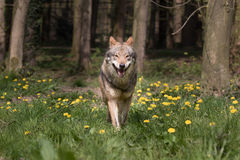 Eurasian Wolf appearing from the woods Royalty Free Stock Photos