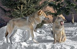 Eurasian wolf Canis lupus lupus. Pair of wolves. On snow in winter Royalty Free Stock Photo